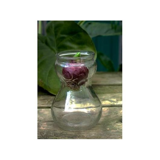 Bulbo Jacinto Blanco con Jarron Cristal (Hyacinthus Orientalis)