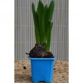 Bulbo Jacinto Azul (Hyacinthus Orientalis)