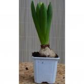 Bulbo Jacinto Blanco (Hyacinthus Orientalis)