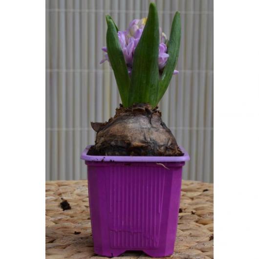 Bulbo Jacinto Lila (Hyacinthus Orientalis)