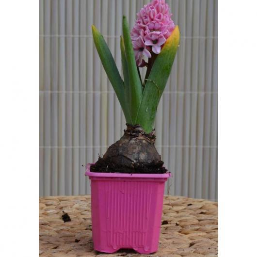 Bulbo Jacinto Rosa (Hyacinthus Orientalis)