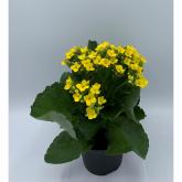 Kalanchoe -Flor Amarilla (Kalanchoe Blossfeldiana)