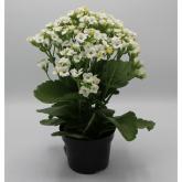 Kalanchoe -Flor Blanca (Kalanchoe Blossfeldiana)