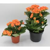 Kalanchoe -Flor Naranja (Kalanchoe Blossfeldiana)