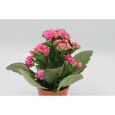 Kalanchoe -Flor Rosa (Kalanchoe Blossfeldiana)