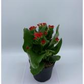 Kalanchoe -Flor Roja (Kalanchoe Blossfeldiana)