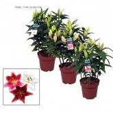 Lilium - Azucena (Lilium spp)
