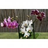 Orquidea mini 1 vara  (Phalaenopsis )