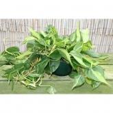 Filodendro colgante (Philodendron)