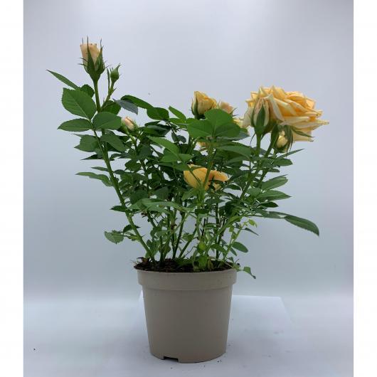Rosal mini con Flor Amarillo