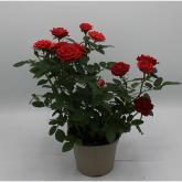 Rosal mini con Flor Roja
