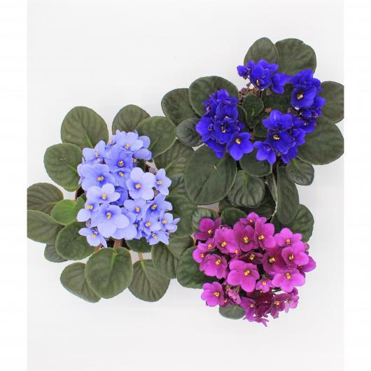 San Paula - Violeta africana (Saintpaulia ionantha)