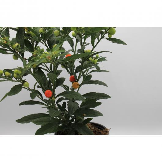Solanum Bolas Rojas - Tomate Enano (Solanum Pseudocapsicum)