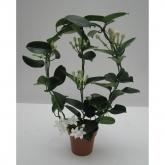 Stephanotis - Jazmin de Madagascar (Stephanotis floribunda)