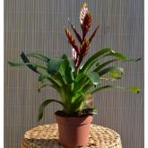 Vriesea (Vriesea Splendid)