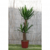 Yucca 2 troncos 60/30 cm