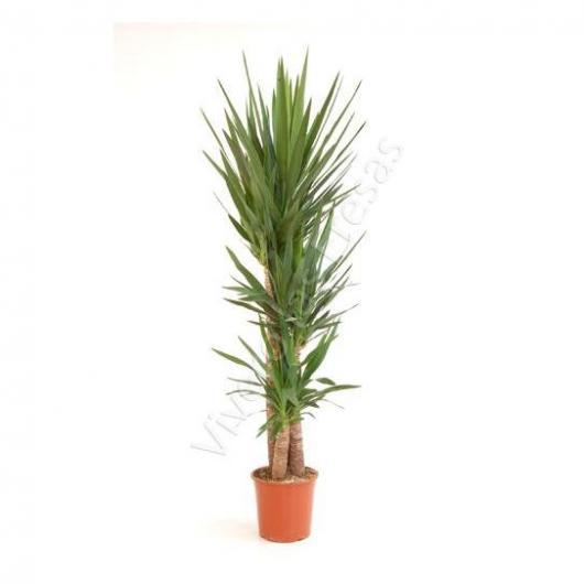 Yucca 3 troncos 90/60/30 cm