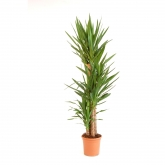 Yucca 4 troncos 120/90/60/30 cm