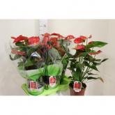 Anthurium/Anturio con Flores Rojas (Anthurium )