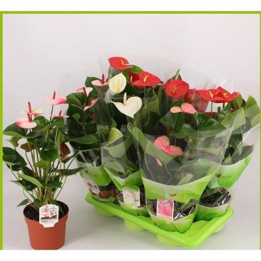 Anthurium/Anturio con Flores Rosas (Anthurium )
