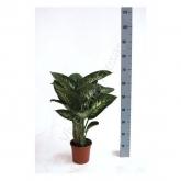 Dieffenbachia Tropic Lemon