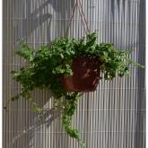 Ficus Repens colgante