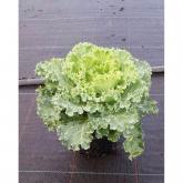 Brasica Flor Blanca (Brassica)