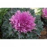 Brasica Flor Morada (Brassica)