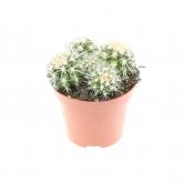 Cactus Grusonii -Asiento de la suegra-