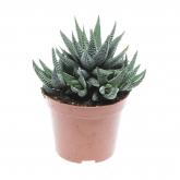 Cactus Hawortia Fasciata