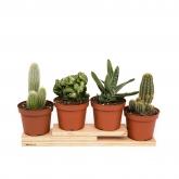 Cactus Suculentos -variados-, 1 ud