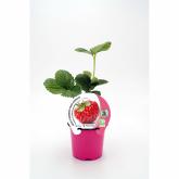 Plantón ecológico de Fresa Framberry maceta 10,5 cm de diámetro