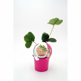 Plantel BIO de morangos Anablanca vaso 10,5 cm de diámetro