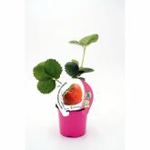 Plantón ecológico de Fresa Charlotte maceta 10,5 cm de diámetro