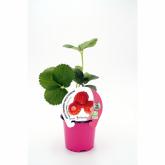 Plantón ecológico de Fresa Reine des Vallés maceta 10,5 cm de diámetro