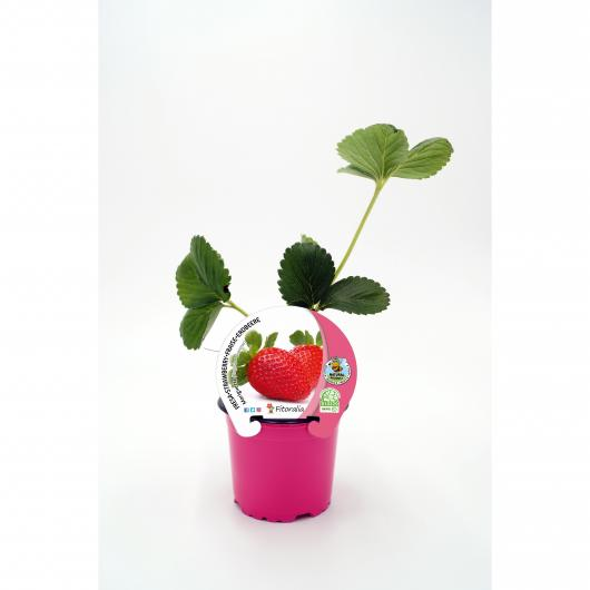 Plantón ecológico de Fresa Mariguette maceta 10,5 cm de diámetro