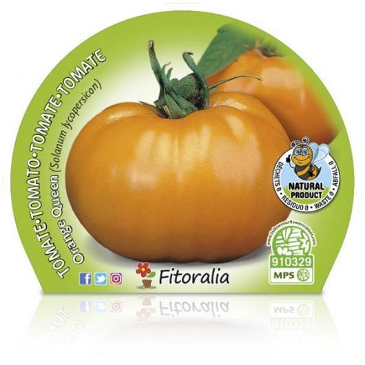Plantón ecológico de Tomate Orange Queen maceta 10,5 cm de diámetro
