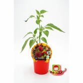 Plantón ecológico de Picante Cherry Bomb maceta 10,5 cm de diámetro