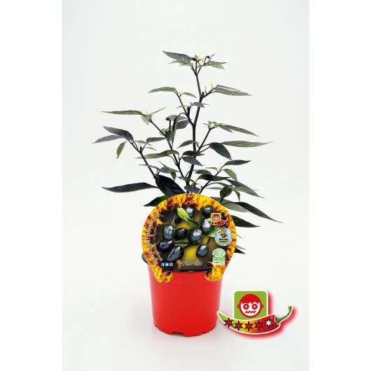 Plantón ecológico de Picante Black Olive maceta 10,5 cm de diámetro