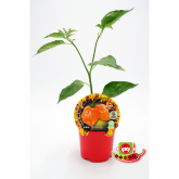 Plantón ecológico de Picante Habanero Naranja maceta 10,5 cm de diámetro