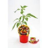 Muda biológica de malagueta Explposive Ember, vaso 10,5 cm diâmetro