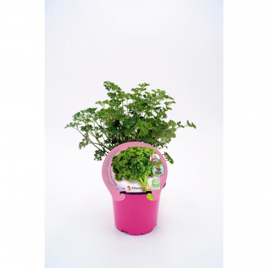 Plantón ecológico de Perejil Rizado maceta 10,5 cm de diámetro