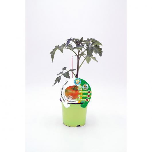 Plantón Tomate Raf injertado maceta 10,5 cm de diámetro