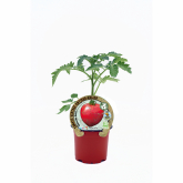 Plantón Tomate Malinowy Retro injertado maceta 10,5 cm de diámetro