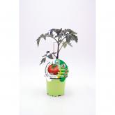 Plantón Tomate Montfavet injertado maceta 10,5 cm de diámetro
