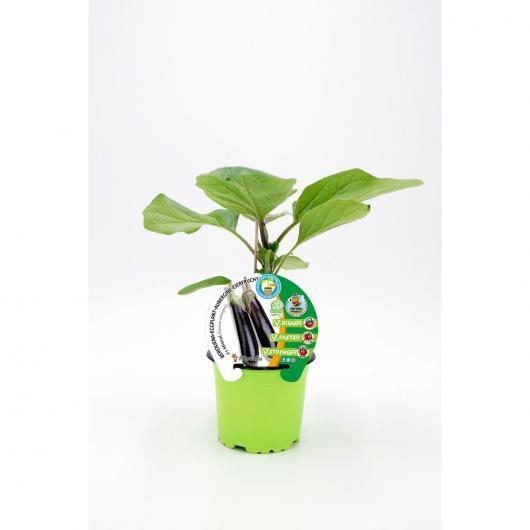 Plantón Berenjena Mistral injertada maceta 10,5 cm de diámetro