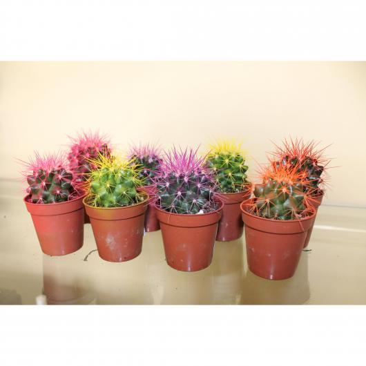 Cactus Grusoni Pintado (colores surtidos) -Asiento de la suegra-