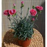 Clavel Dianthus Pink Kisses  (Dianthus Caryophyllus)