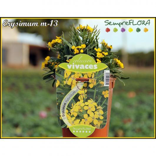 Erysimum -Alhelí del Teide (flor amarilla)