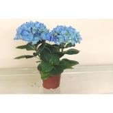 Hortensia -Flor Azul (Hydrangea Macrophylla)